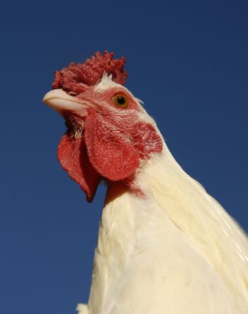 close up of a head of a white chicken