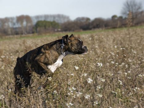 running purebred boxer in a field in winter