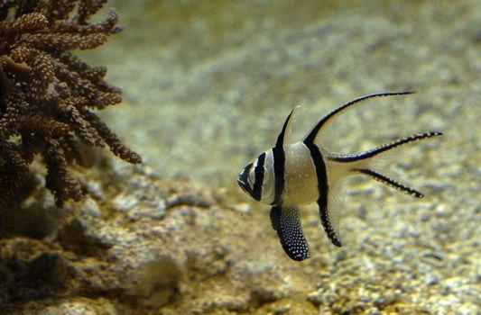 pterapogon kauderni, popular fish for the sea aquarium