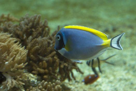 Powder Blue Tang, acanthurus leucosternon - inside marine aquarium