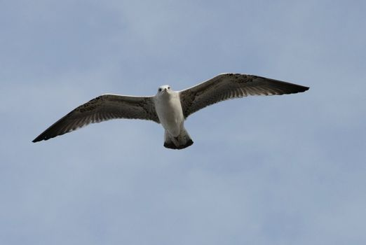 flying juvenil seagull in a blue sky