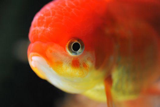 lion head goldfish