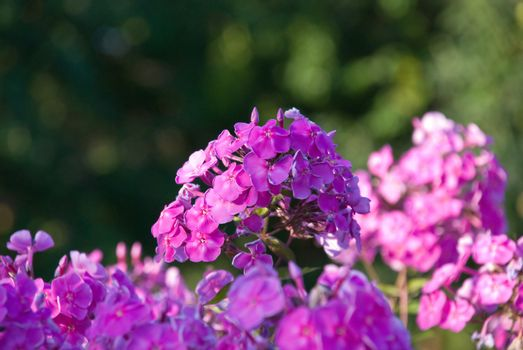 Bush of a pink Phlox with small DOF