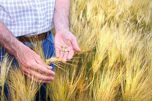 Hands with holding wheat grains in field