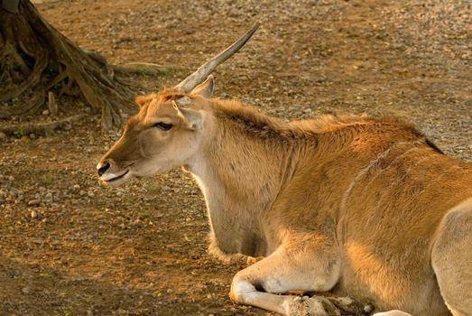 Single Horn Sheep