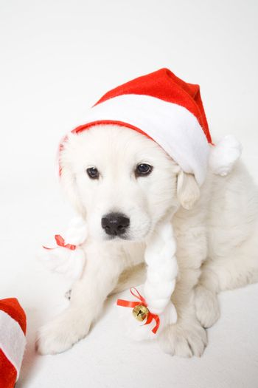 Cute christmass doggy