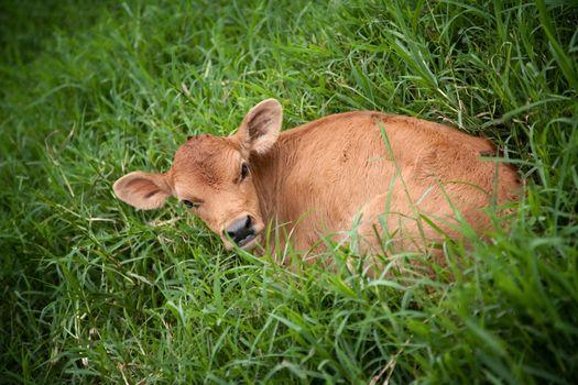 Costa Rican calf