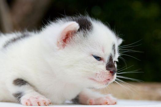 newborn black and white small kitten