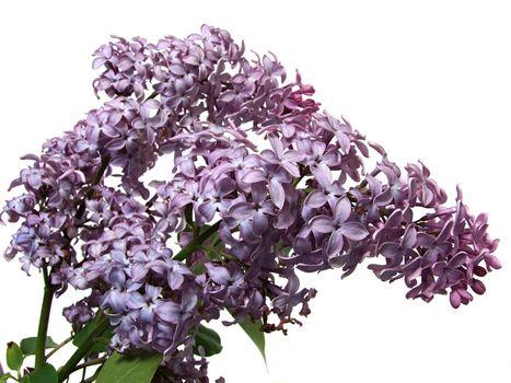 Lilac flower of syringa(Syringa vulgaris)