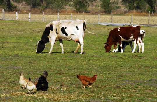 Brown, black and white hens and two cows on field