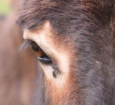 eye of a donkey