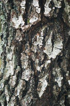 Bark of a birch