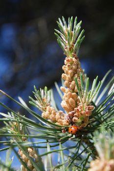 Pine kidneys