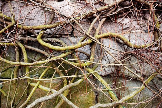 A vine on a rock with no leaves