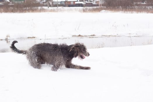 An Irish wolfhound on a snow-covered field
