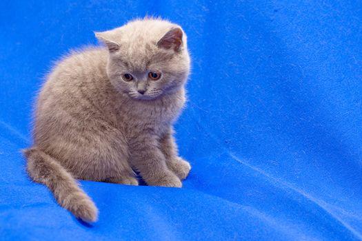 A yellow-eyed British shorthair blue kitten on blue background