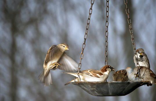 Five sparrows share a bird feeder during a snow storm