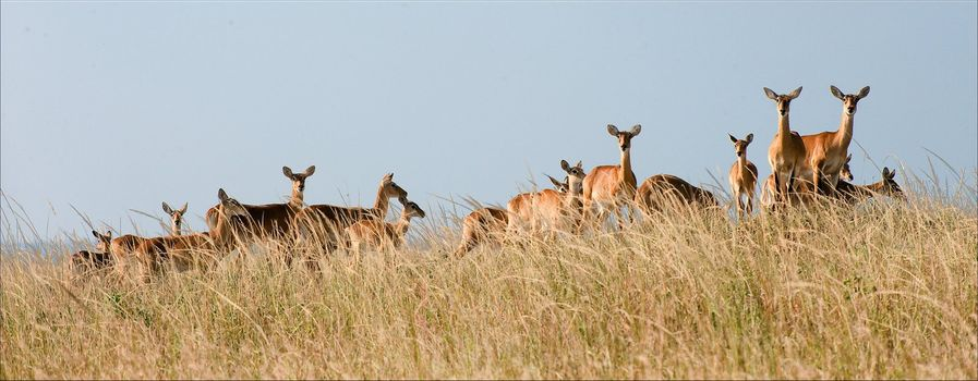 Group of gazelles.