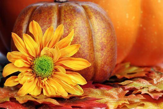 Still life of a fiery orange autumn flower and pumpkins.