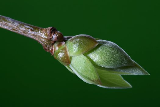 new life -  lilac bud against green background