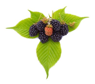 heap of ripe blackberries with leaves, isolated on white