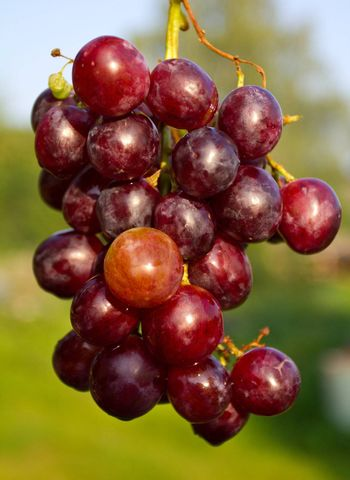 close-up branch of red ripe grapes on green grass background