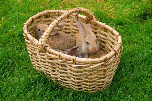 bunnies in basket on green grass background