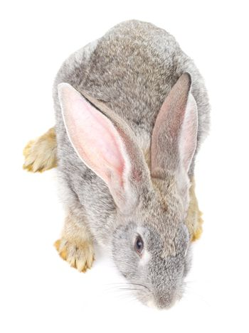 close-up gray rabbit view from above, isolated on white