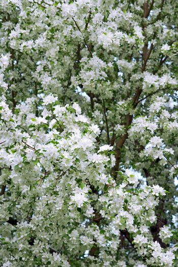Blossoming pear trees