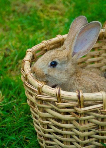 small bunny in basket on green grass