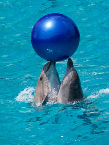 two dolphins playing with ball