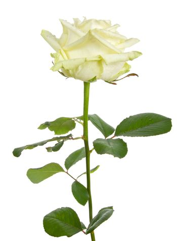 close-up beautiful white rose, isolated on white