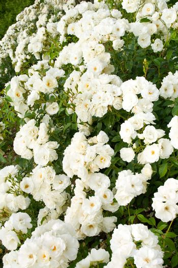 white roses bushes