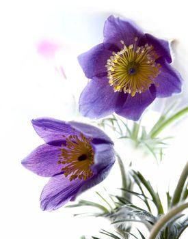 pasque-flower close-up