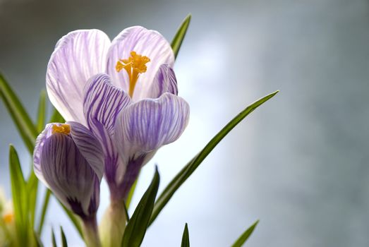 two small crocus