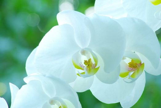White orchid isolated on green background