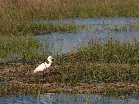 White Egret - Horizontal
