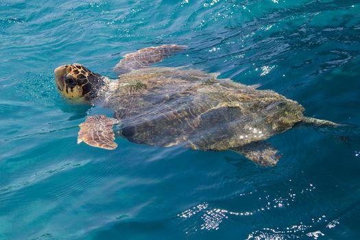 Loggerhead Sea Turtle swimming in the blue water near Zakynthos island - summer holiday destination in Greece