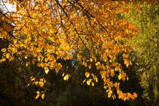 Bright yellow foliage illuminated by the sun. The natural background for any purpose