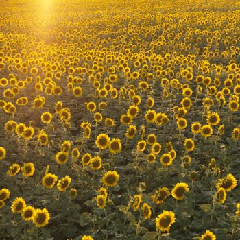 Agricultural field of sunflowers.