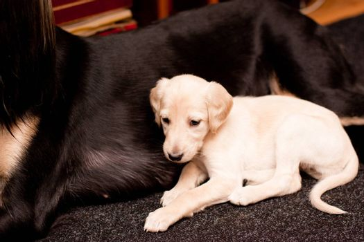 A white saluki pup lying near its mother on carpets