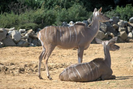 Two african antelope resting in zoo