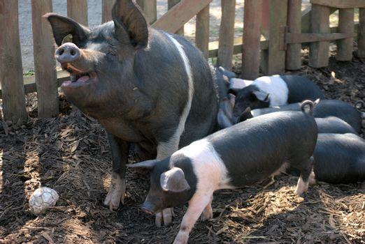 Happy mother pig with piglets
