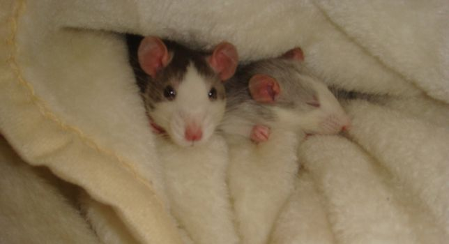 Two rats in a blanket.