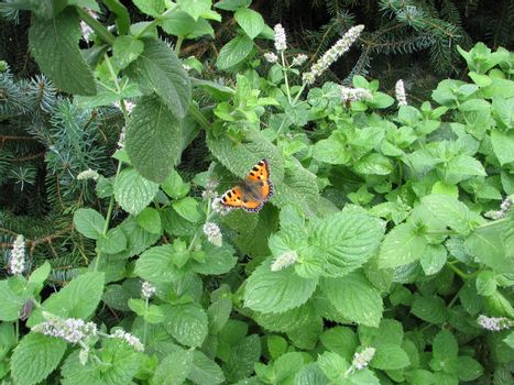 peppermint plant with small tortoiseshell butterfly