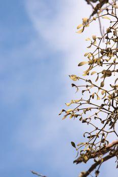 Close-up of a bunch of mistletoe (Viscum album)
