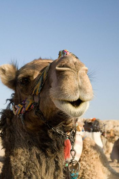 Camel in Sahara Desert, Egypt, On A Sunny Summer Day