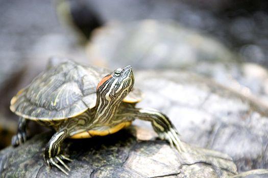 South East Asian tortoise.