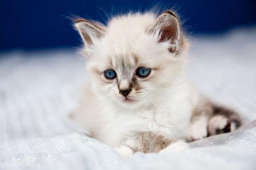 Portrait of a kitten with blue eyes