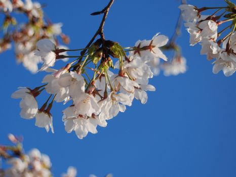 Sprig of white cherry blossom hangs downward against blue sky.